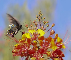 tucson homes newsletter august 2014 Butterfly Pointed